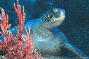 Cocos Sea Turtle by Nonie